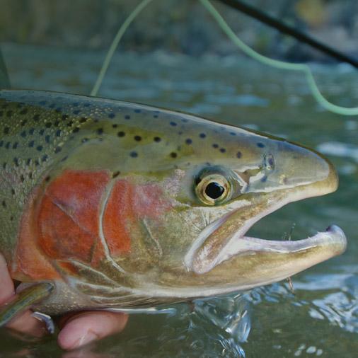 Levage de poisson vente de truite en sarthe 72 for Vente de poisson